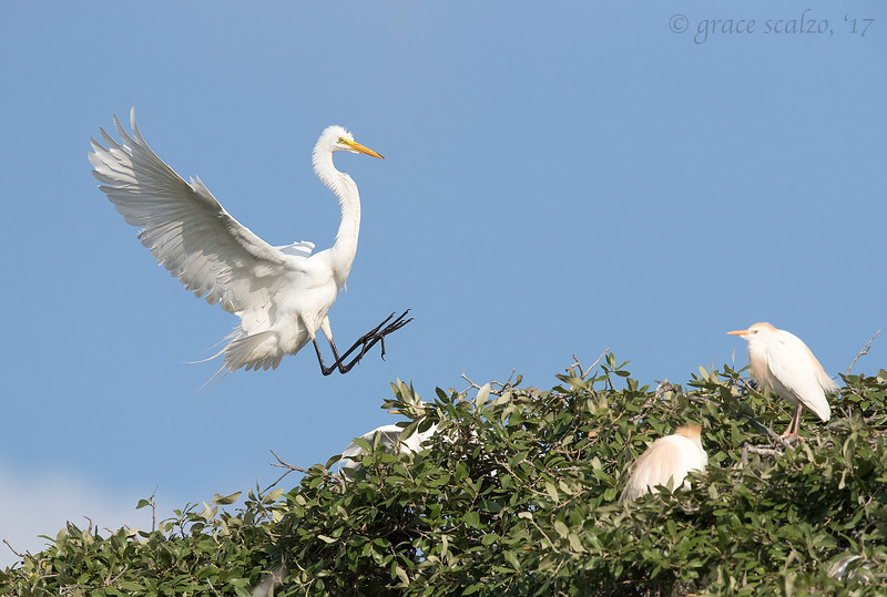 Great Egret Incoming