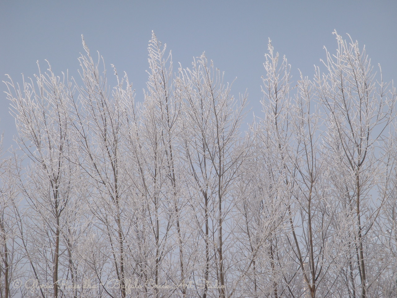 tall willow trees in the sun