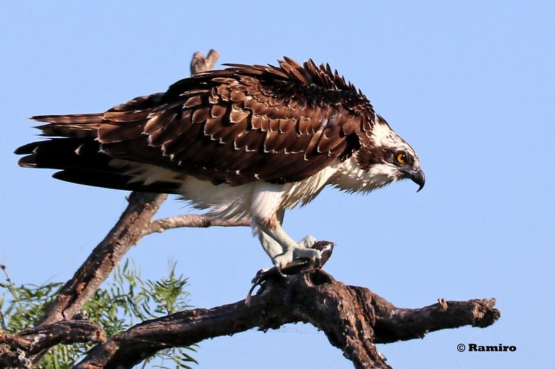 Osprey IMG_1375.jpg
