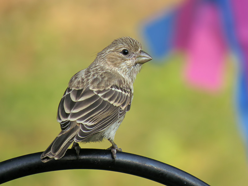 sx50_house_finch_348.jpg