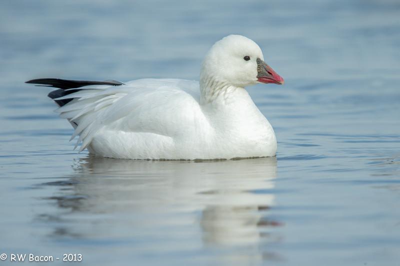 Ross's Goose Portrait.jpg