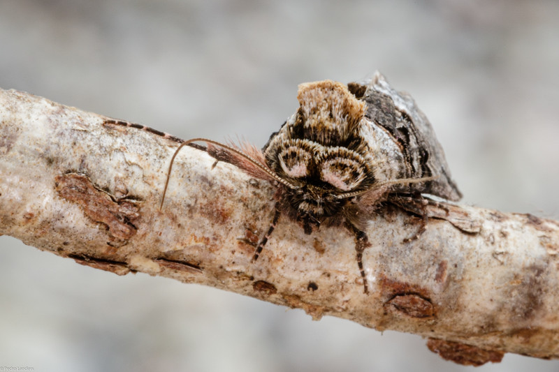 Spectacle Moth
