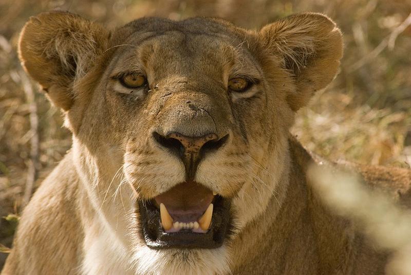 Lioness3_edited-1.jpg