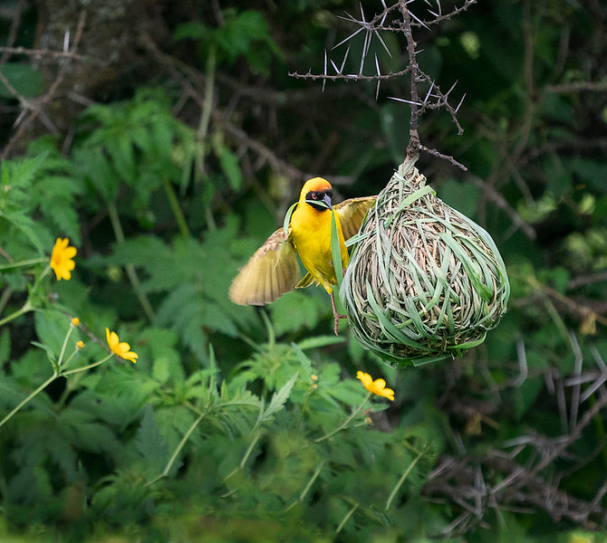 Weaver Bird at Work