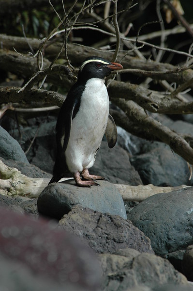Penguins New Zealand 2005