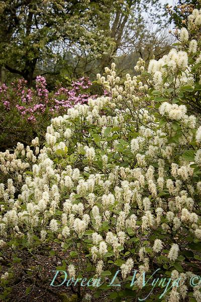 Fothergilla major 'Mount Airy' flowering_1355.jpg