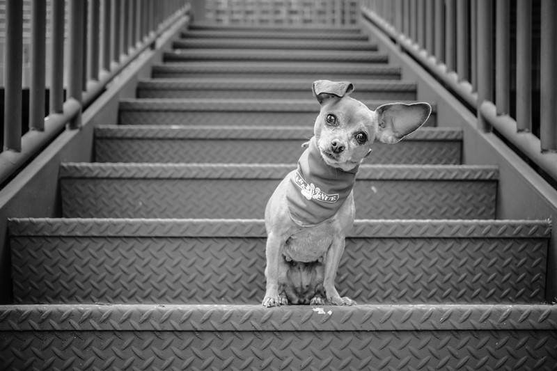 chihuahua-on-stairs.jpg