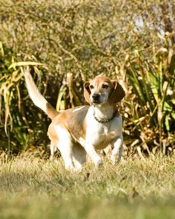 Nantucket Treweryn Beagles at Stonefield 2-26-17