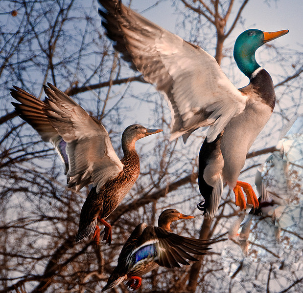 034 Ducks in Group flight .jpg