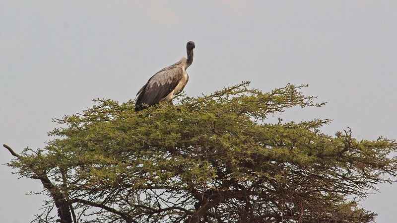 White-backed Vulture, Naboisho Conservancy