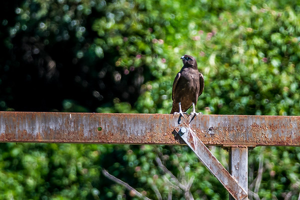 2018-05-10 Dark Morph Brown Falcon