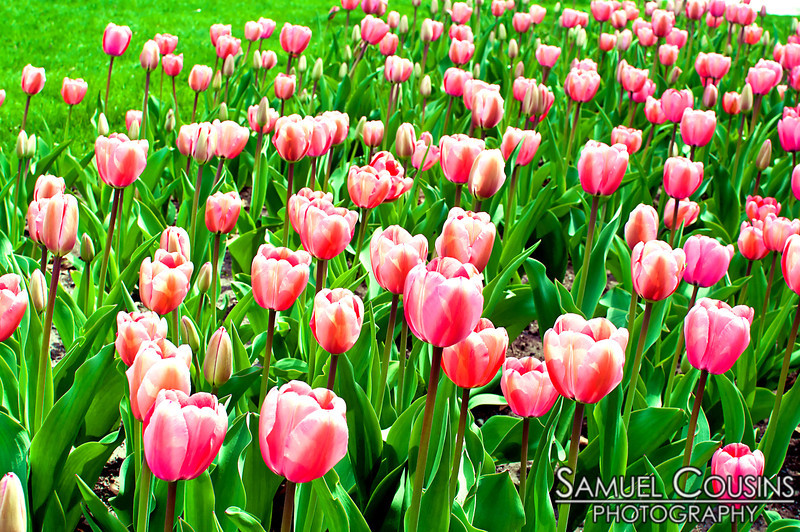 Tulips growing in Lincoln Park