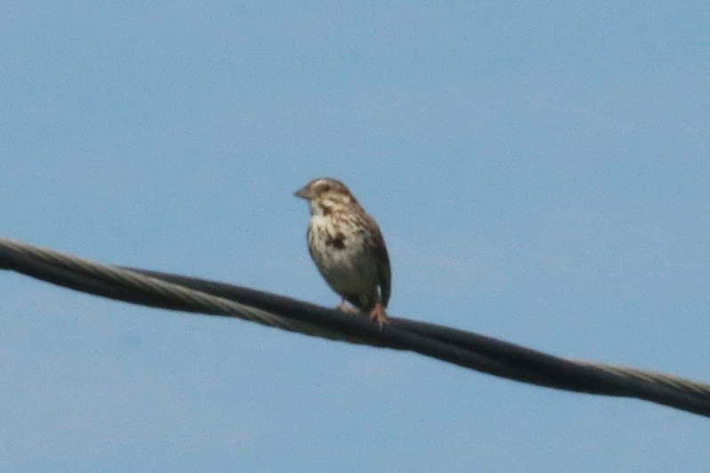 Song Sparrow @ Kaskaskia Island