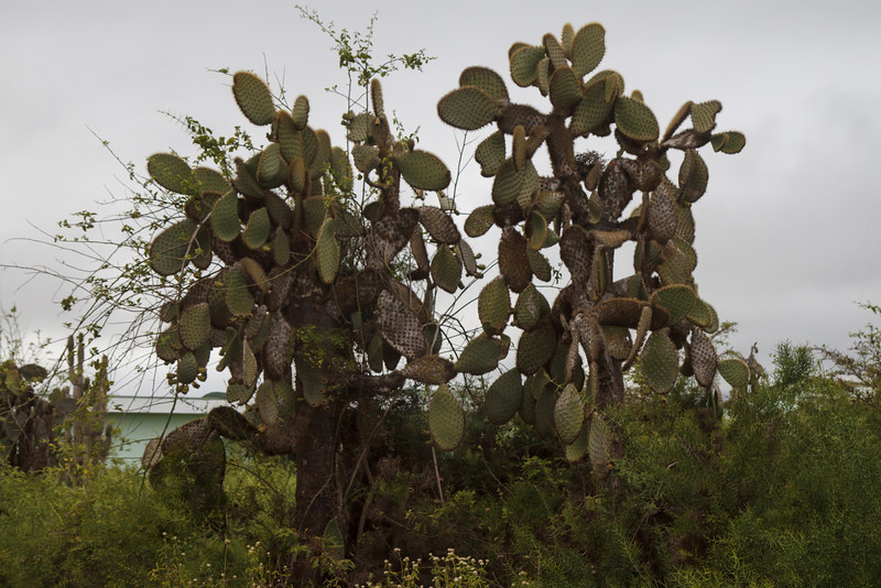 Prickly Pear Cactus at Santa Cruz, Galapagos, Ecuador (11-20-2011) - 568.jpg