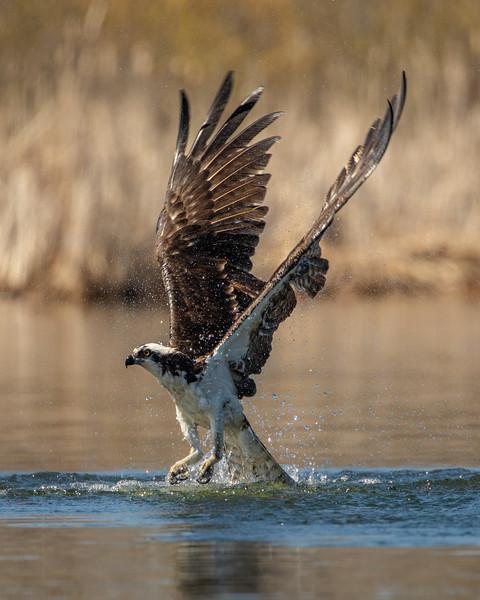 Osprey Dive PL-1.jpg