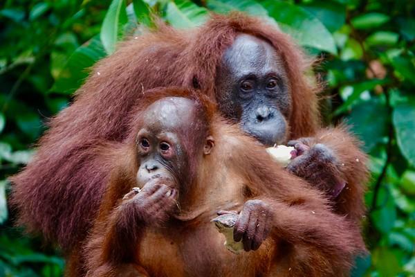 Orangutan Mom & 3-year old