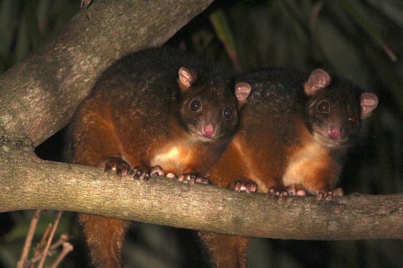 Common ringtail possums, Queensland, Australia