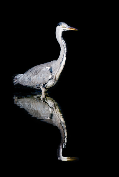 Grey heron with its reflection in the water