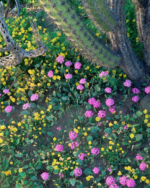 Baja Sur California, Mex., MEX/Vizcaino Desert. Sand Verbena (Abronia villosa) and Evening Primrose (Oenthera sp.) beneath Galloping Cactus (Stenocereus gammosus).295V7