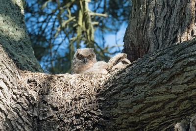 2018 Golden Gate Park - Owls