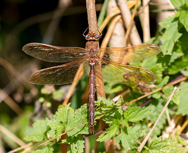 Anisoptera by species