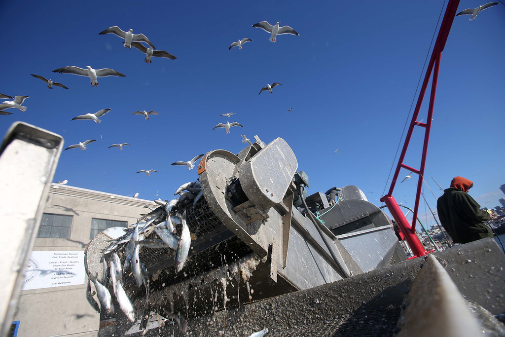 . Herring from fisherman Dennis Deaver\'s 18-ton catch are sorted as seagulls fly above at the San Francisco Community Fishing Association dock on Pier 45 in San Francisco, Calif., on Friday, Feb. 8, 2013.  (Jane Tyska/Staff)