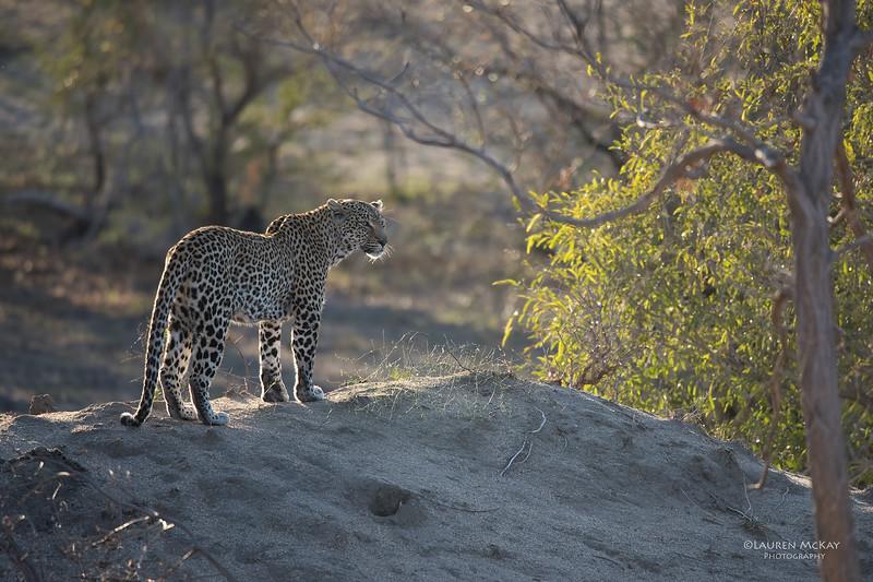 Leopard (Salayexe), Sabi Sands (EP), SA, Oct 2016-2.jpg