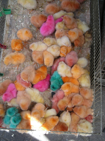 colored chicks for sale at a street-side pet shop in Amman, Jordan