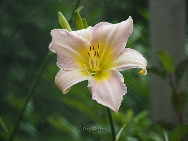 Lily the Daylily