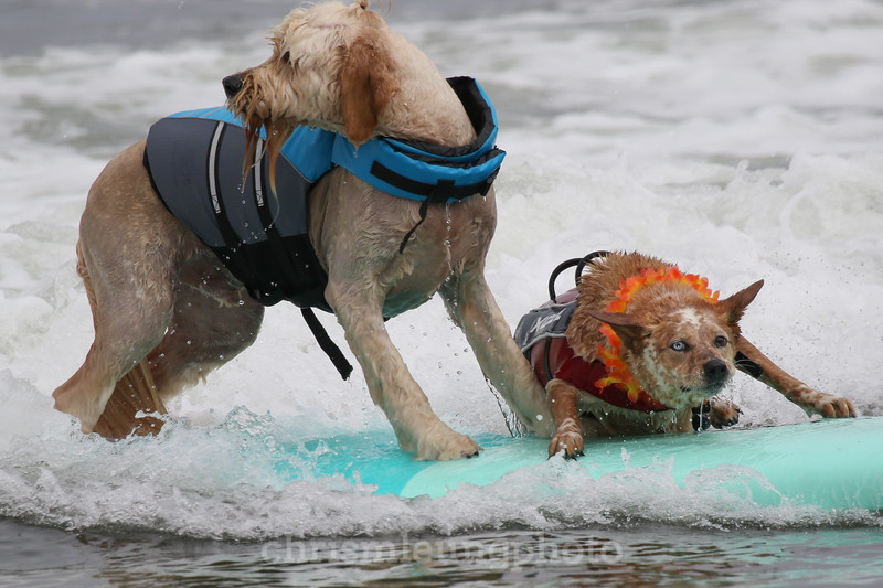 8/5/17: Skyler hops on with Teddy after losing his board to a wave during the 2017 World Dog Surfing Championships at Pacifica State Beach in Pacifica, Ca by Chris M. Leung