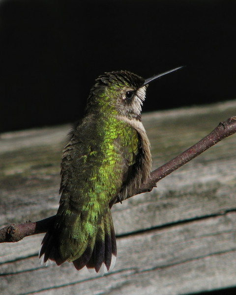 hummingbird_7679.jpg