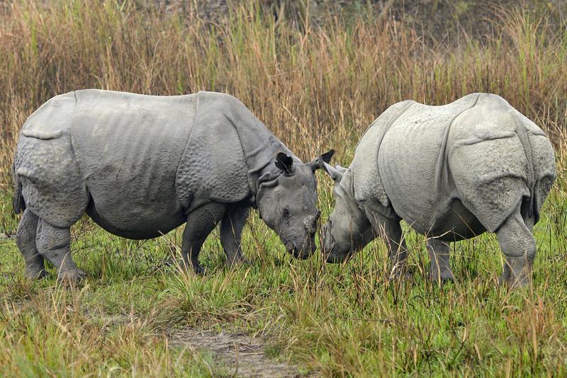 Rhinos-horn-to-horn.jpg