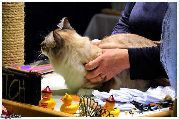 Feline / Cat Shows