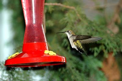 humming birds  cooper hawks winter birds