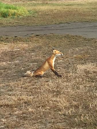 7-18-2016 Mare Island plus fox at Monarch bay