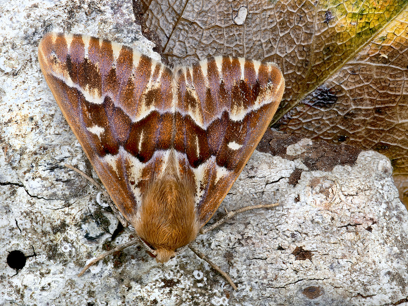 Western Pine Looper Moth