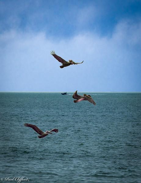 1264 E P Pelicans Flying.jpg