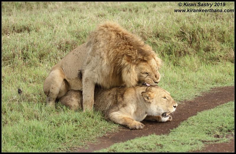Lion, Ngorongoro Crater, Ngorongoro Conservation Area, Tanzania, November 2019