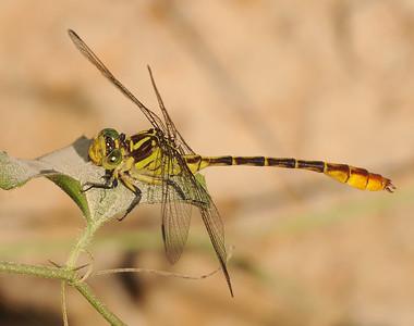 Gomphidae (Clubtails)
