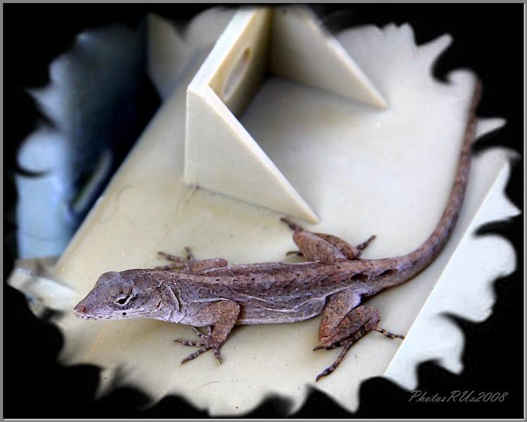 Gecko  Dec. 2010
