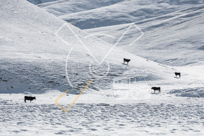 Abstract composition with dark cows on a snowd hills in the Tian Shan mountains of Kyrgyzstan