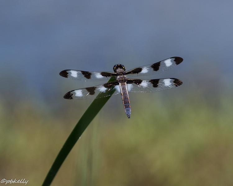 6-03-16.  Nice, fresh Twelve-spotted Skimmer.