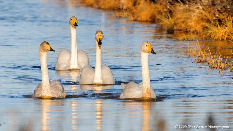 Sangsvane - Cygnus cygnus - Whooper Swan