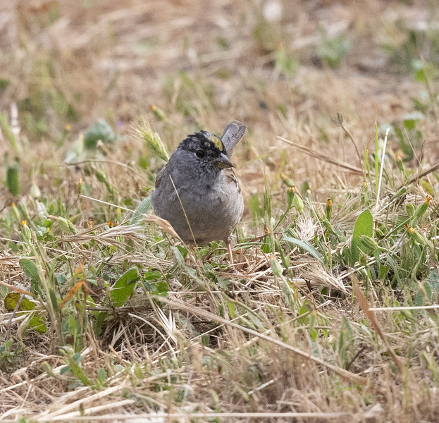 Golden-crowned Sparrow Sorrento Valley 2021 05 07-216.CR3