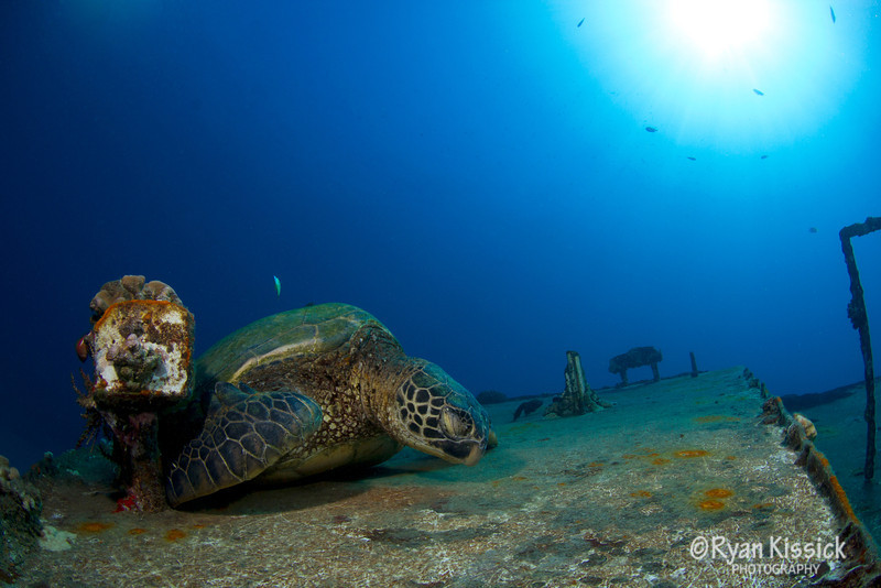 Green Sea Turtle sleeping on wreck in Maui