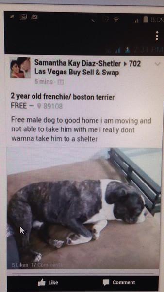 Bulldogs, Bostons, Bull Terriers Las Vegas