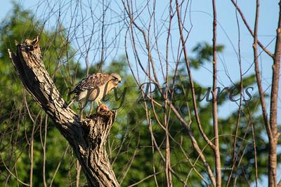 Hawk  025