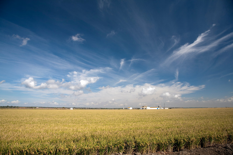 Rice fields in the Doñana marshland area, town of Isla Mayor, province of Seville, autonomous community of Andalusia, southwestern Spain