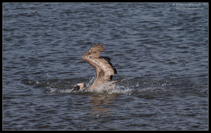Brown Pelican, Robb Field, San Diego River, San Diego County, California, April 2011