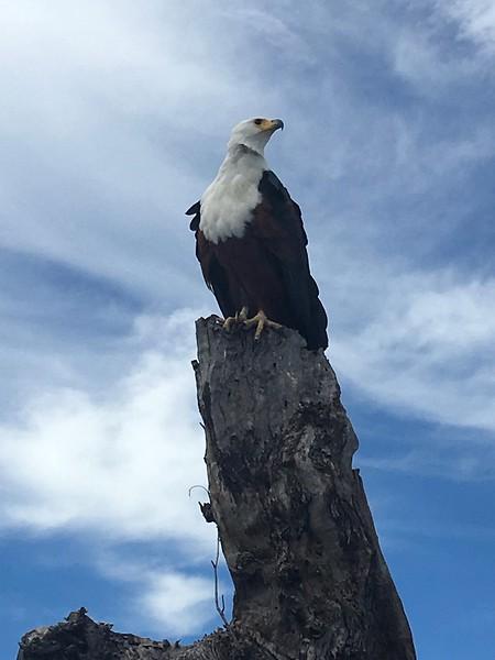 River Eagle on the Chobe River - Rob Williamson